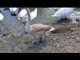 Стая лебедей в Евпатории. Крым.