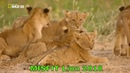 The Misfit African Lion Cub National Geographic Lions Documentary 2018