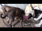 Тунгуса щенки