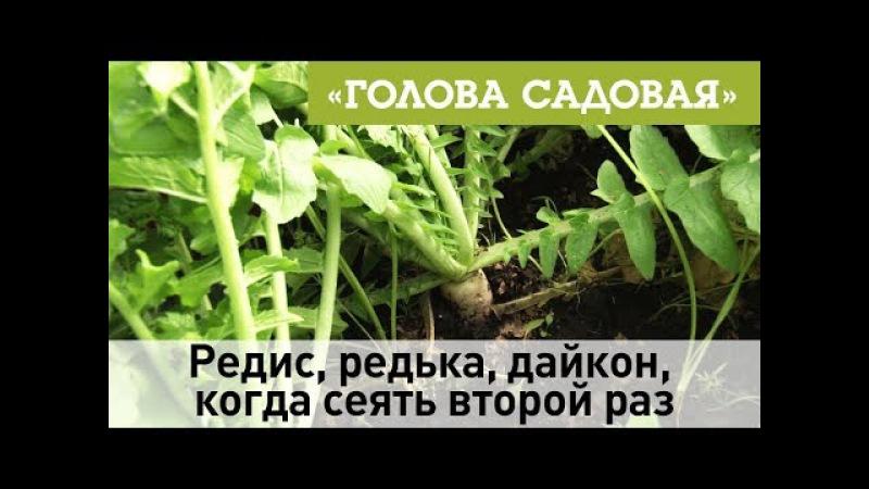 Голова садовая - Редис, редька, дайкон, когда сеять второй раз
