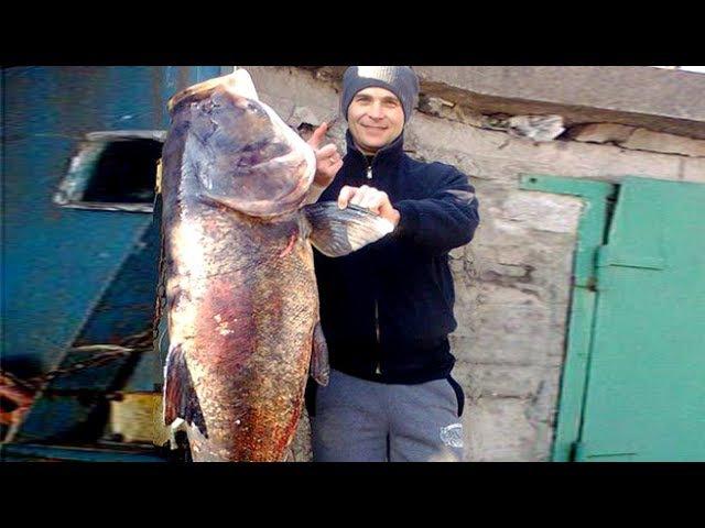 Самая большая рыба в мире Толстолобик на 50кг Подводная охота