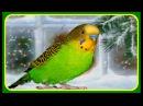 ПОПУГАЙ РАЗГОВОРИЛСЯ/ВОЛНИСТЫЙ ПОПУГАЙ ПОЕТ И РАЗГОВАРИВАЕТ/ПОПУГАЙ ТОША ПОЕТ/зеленый попугайчик TV