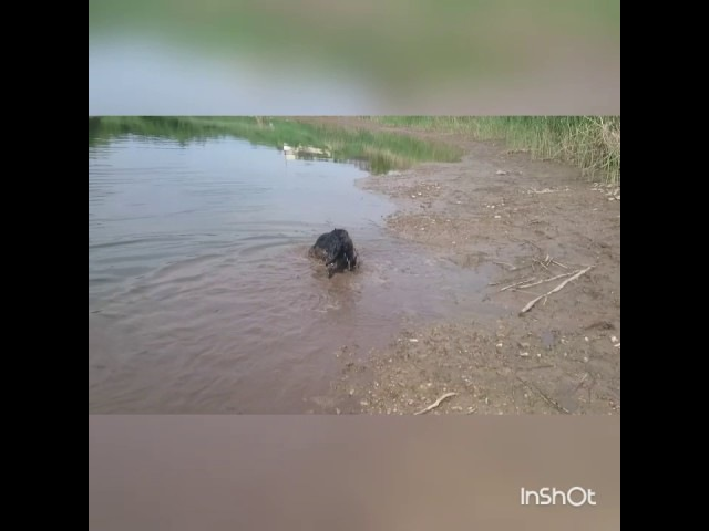 Собака купается в грязи. Лабрадор. Прикол.The dog is bathed in the mud. Labrador. Funny.