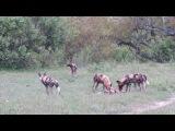 Самка павиана и стая гиеновых собак (Female baboon and pack of wild dogs)