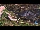 Аллигатор убил большого питона, и утащил его на дно