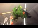 Попугай Валера купается принимает душ Венесуэльский амазон