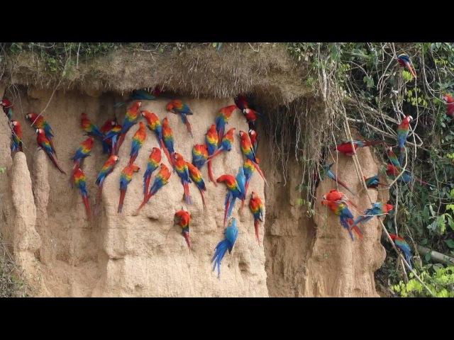 Scarlet, Red-and-green, and Blue-and-yellow Macaws at Rio Tambopata clay lick