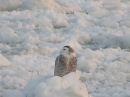 Snowy Owl Rides on a Small Ice Floe