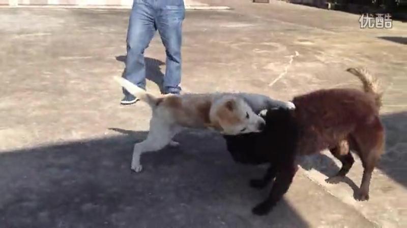Китай. Местная порода собак. бой