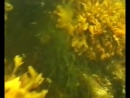 Бурые водоросли Фукус