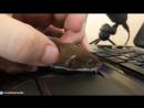 Ласкины ласки - my tender weasel(Mustela nivalis)
