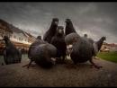 Челябинские голуби-каннибалы