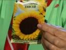 Октябрина Ганичкина - Cад. Серия 153. 1.Посев семян подсолнечника на рассаду. 2.Выбираем саженцы гортензии метельчатой.