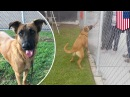 Zuzu the dog lost German shepherd at shelter sees her family but they ask for a new dog - TomoNews