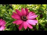 Красивые цветы и музыка для души, африканская ромашка, видео для друзей, 01022018