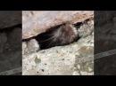 Бесстрашный грызун, Омск