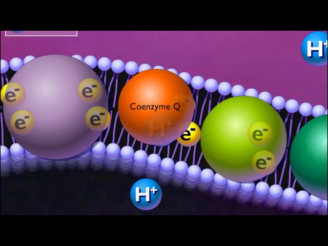 Electron Transport Chain [HD Animation]