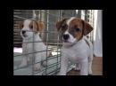 Кормление 2-месячных щенков Джек рассел терьера Puppies Jack russell terrier