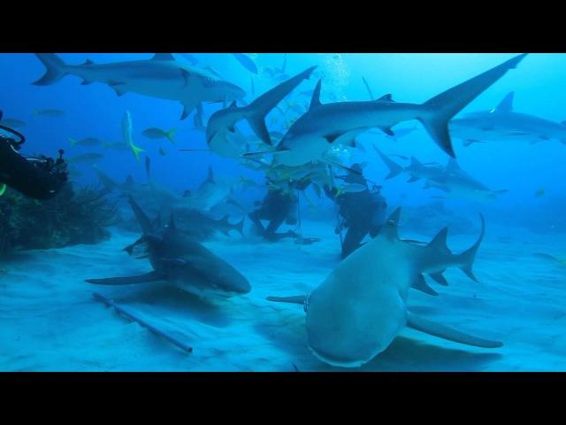 Дайвинг с акулами на Багамах