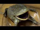 バジェットガエルがまた怒ってる