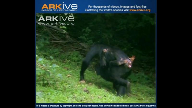 Восточный шимпанзе против павиана Eastern chimpanzee fighting with baboon