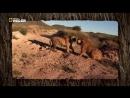 Необычное поведение животных. Бой тигров.