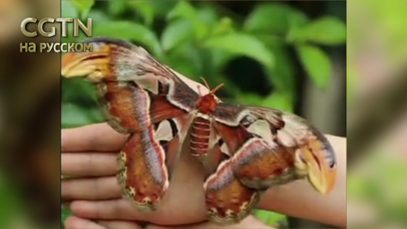 В уезде Аньфу в округе Цзиань провинция Цзянси КНР появилась бабочка Атлас