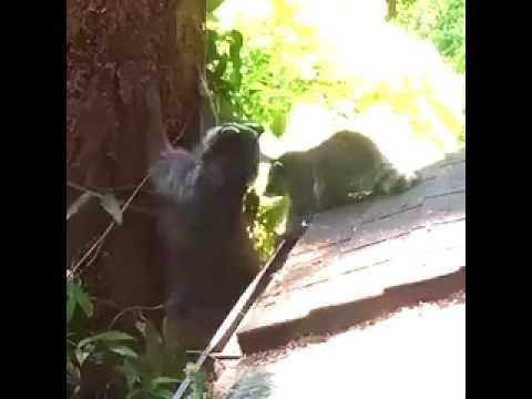 Guaxinim mamãe ensinando seu bebê a escalar uma árvore . AcheiC