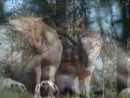 Александр Розенбаум Одинокий Волк 240p mp4