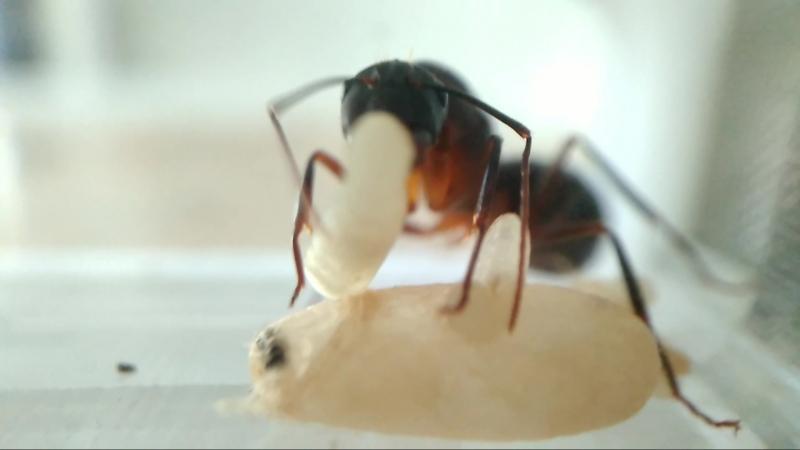 Camponotus Barbaricus - гордая Испанка высиживает второе поколение