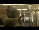 Берёзовский мамонт уникальный хорошо сохранившийся в вечной мерзлоте экземпляр самца мамонта, находящийся в Зоологическом музее
