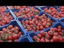 Возвращение турецких помидоров