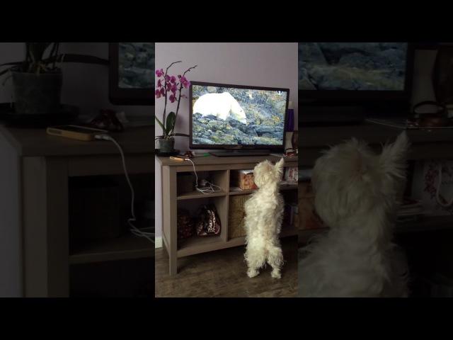 Собака смотрит телевизор, смешная собака! west highland white terrier, вестик (Мерри)