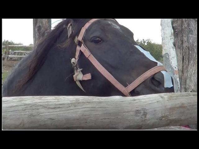 Простой способ успокоить лошадь перед расчисткой копыт