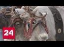 Зрелищный дрифт на оленьих упряжках: в Ханты-Мансийске прошли большие гонки - Россия 24