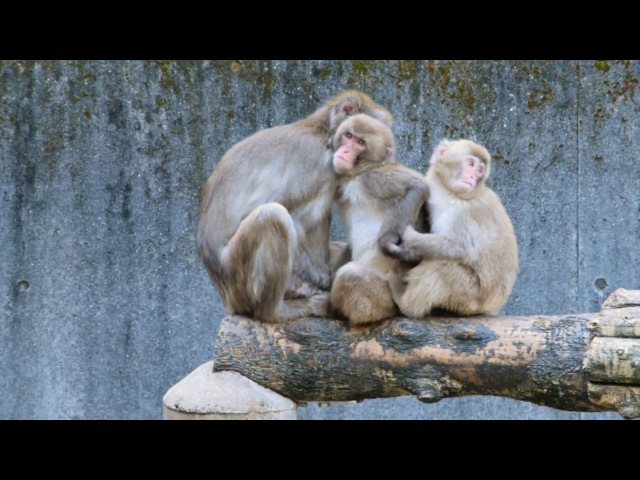 [Funny]Monkey brothers love their mother. Especially older brother.