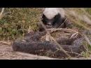 Медоед ест питона в национальном парке Амбосели Кения Honey Badger VS Python
