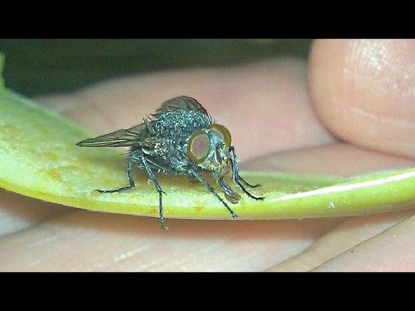 Приручил муху. Муха в макросъемке. Tame fly. Fly in macro.