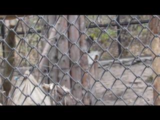 Девушка общается с каракалом и камышовыми котами 18.10.17