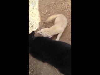 Котик и лисичка - лучшие друзья