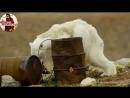 Белый медведь умирает от голода на глазах у людей