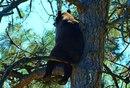 Когда медведь устаёт от лесной суеты, он забирается на дерево…