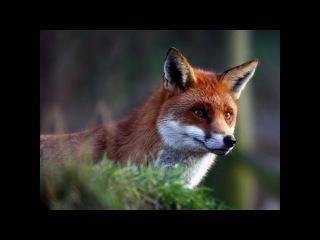 BBC: Наедине с природой: Лисы