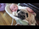 Cute Baby Laughing At Pug Dogs Will Make You Happy - Funny Dogs and Baby