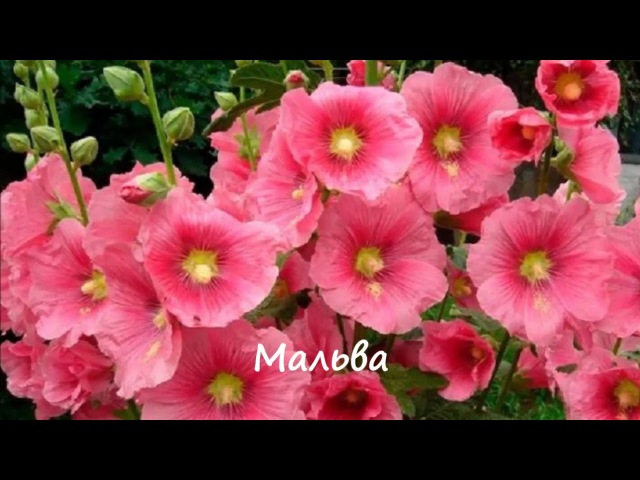 Какие цветы размножаются самосевом ФотоНазвания