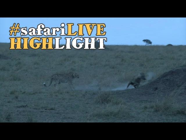 Самка гепарда прогоняет гиену (Cheetah chases hyena straight into termite mound!)