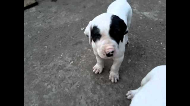 BULLY KUTTA BAJOU PUPPIES pt2 WITH REALDEAL XENA