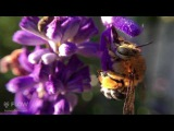 Голубая полосатая пчела собирает нектар из цветов шалфея