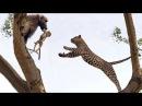 Ngàn cân treo sợi tóc khỉ đầu chó tấn công sư tử báo đốm có kết cục - Lion vs Brave baboon