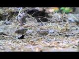 Brown Quail / Бурый перепел / Coturnix ypsilophora